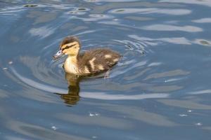 Canard colvert Anas platyrhynchos lagan river belfast irlande du nord uk photo