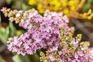 fond de branches fleuries de lilas violet. printemps. photo