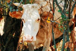 le bovin était coincé dans les arbres. photo