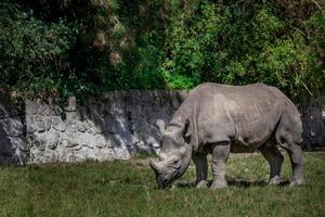 rhinocéros noir au zoo photo