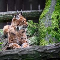 Lynx eurasien au zoo photo