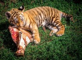 le petit tigre mange de la viande photo