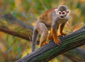 singe écureuil sur log photo