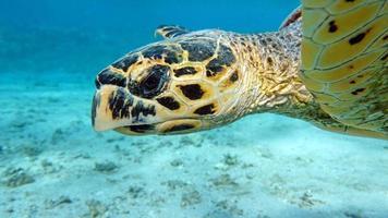 tortues de mer . grande tortue de récif .bissa. photo
