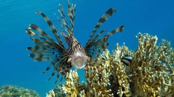 poisson lion dans la mer rouge. photo