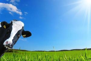 vache pleine d'esprit, vache laitière avec prairie en arrière-plan photo