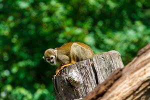 singe écureuil commun photo