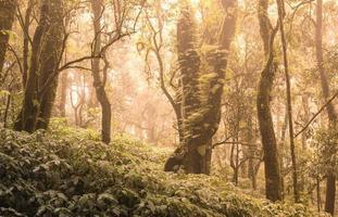 forêt tropicale humide asiatique. jungle vieil arbre vert dans le parc national de doi inthanon, thaïlande. photo