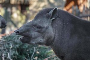 tapir sud-américain photo
