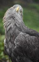 aigle à queue blanche photo