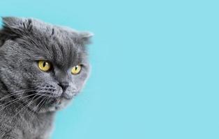 British shorthair kitty avec mur monochrome derrière elle photo