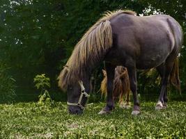 mini chevaux mangeant de l'herbe. photo