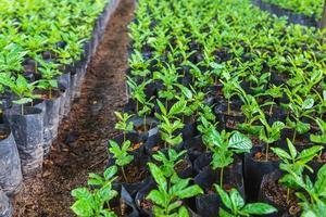semis de café en pépinière photo