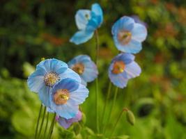 belles fleurs bleues de meconopsis ou coquelicots de l'Himalaya photo