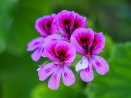 belle fleur de géranium rose pélargonium rose violet photo