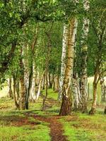 Chemin à travers les bouleaux verruqueux dans un bois à skipwith common north yorkshire angleterre photo