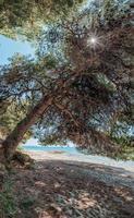 vieux pin courbé et tordu à la plage, pin avec une ombre énorme sur la plage sauvage de la péninsule de kassandra, halkidiki, grèce. photo
