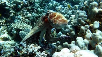 poulpe. grande pieuvre bleue sur les récifs de la mer rouge. photo