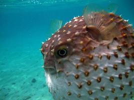 poisson hérisson. cyclicht à taches jaunes - pousse jusqu'à 34 cm, se nourrit de crustacés et de mollusques. en cas de danger, il prend la forme d'une boule, hérissée d'épines. photo