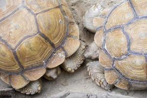 tortue géante d'Aldabra photo