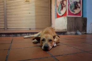un chien de rue à malacca en malaisie photo