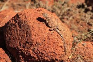 Le centre de l'Australie tympanocryptis centralis dragon sans oreilles à kata tjuta park territoire du nord de l'Australie photo