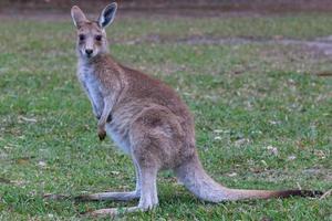 Kangourou gris de l'Est macropus giganteus Sunshine Coast Queensland Australie photo