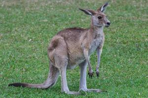 Kangourou gris de l'Est macropus giganteus Sunshine Coast campus universitaire Queensland Australie photo