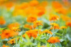 gros plan de fleur d'oranger dans le jardin photo