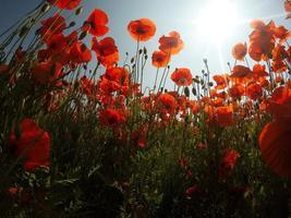 scène pittoresque. gros plan de fleurs rouges et fraîches de pavot sur le champ vert, au soleil. paysage rural majestueux. photo