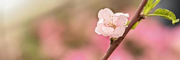 une macrophotographie d'une fleur de cerisier rose. fleur de sakura. photo