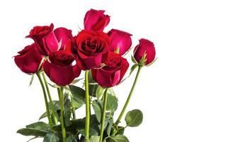 roses rouges sur fond blanc photo