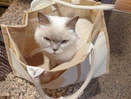 Chat British shorthair blanc assis à l'intérieur d'un sac en toile photo