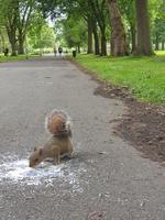 un écureuil dans un parc de la ville mange une glace tombée sur un chemin asphalté photo