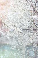 fleurs de cerisier sauvages en fleurs, recouvertes de la dernière neige du printemps photo