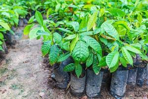 semis de cacaoyers en pépinière photo