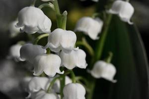 petites cloches blanches de muguet photo