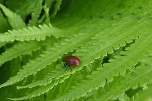 scarabée rouge sur une feuille de fougère photo