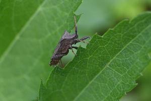 un gros insecte brun sur une feuille verte photo