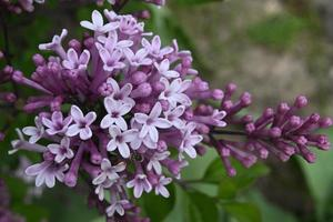 arbuste fleuri à petites fleurs photo