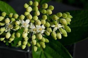 fleurs blanches d'un arbuste à fleurs d'été photo