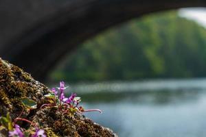 fleur sauvage sur la rive de la rivière wear à durham, en angleterre. photo