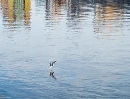Mouette débarquant dans les eaux de la rivière Tyne à Newcastle photo