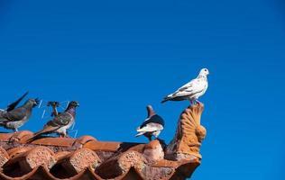 Pigeons sauvages à Égine, Grèce photo