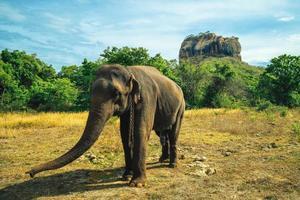 L'éléphant et le rocher du lion en arrière-plan à Sigiriya, Sri Lanka photo
