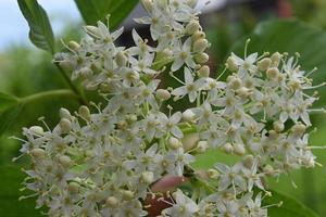 arbuste à fleurs fleurs blanches photo