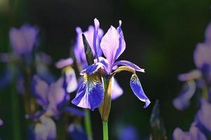 iris bleu vif photo