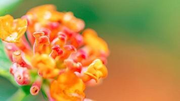 fleur jaune et rose nommée lantana camara photo