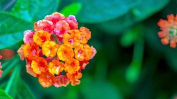 fleur de lantana en pleurs photo