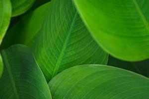 laisse une feuille verte foncée dans le fond naturel de la forêt tropicale photo